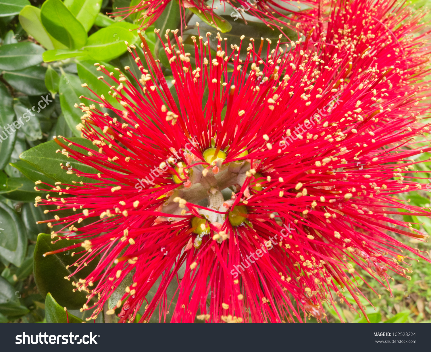 Closeup Crimson Blossoms Flowering New Zealand Stock Photo.