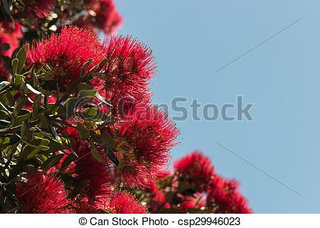 Stock Photo of Metrosideros excelsa tree flowers in bloom.