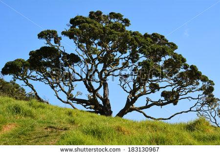 Vector Images, Illustrations and Cliparts: Pohutukawa tree.