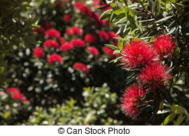 Stock Photos of New Zealand Christmas Tree.