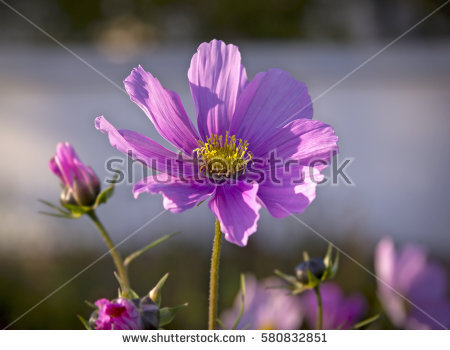 Mexican Aster Stock Images, Royalty.