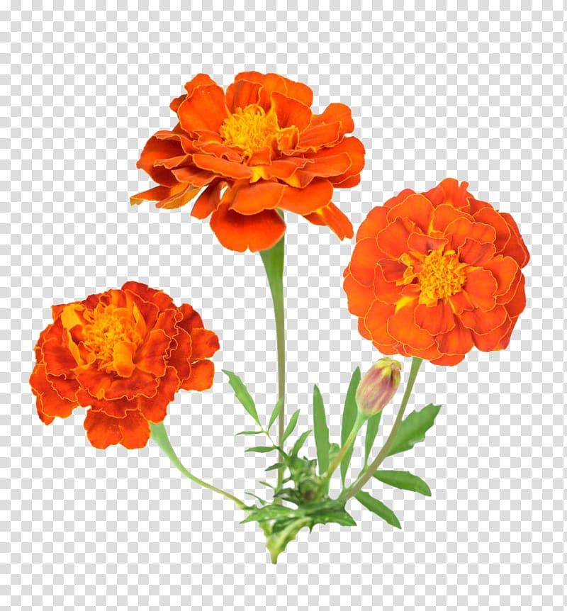 Mexican marigold Flower , Marigold flower material.