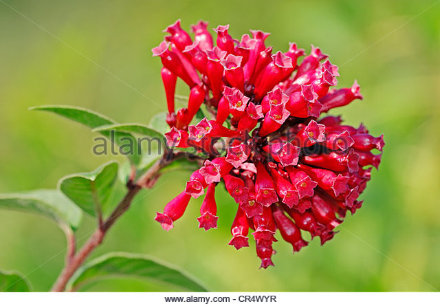Cestrum Stock Photos & Cestrum Stock Images.