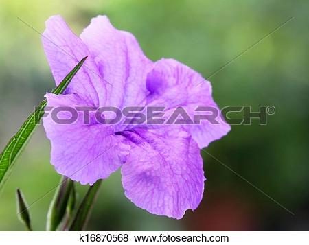 Pictures of Mexican petunia k16870568.