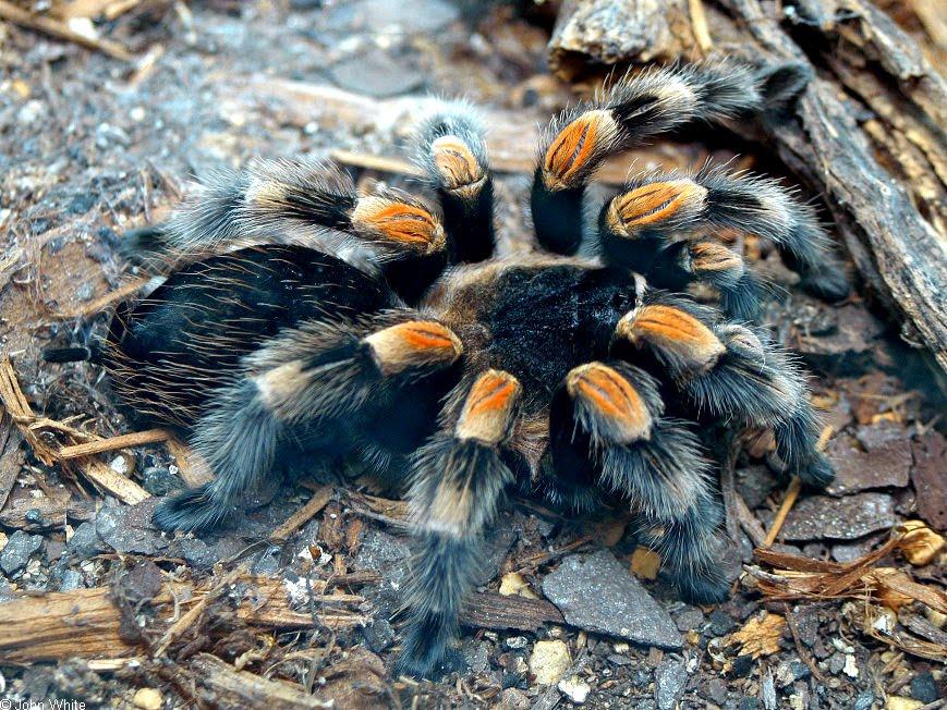 Popular Tarantula Species.