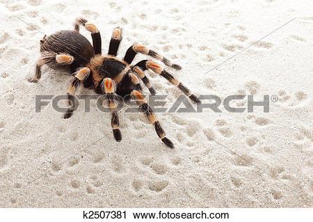 Stock Photography of red knee tarantula k2507381.