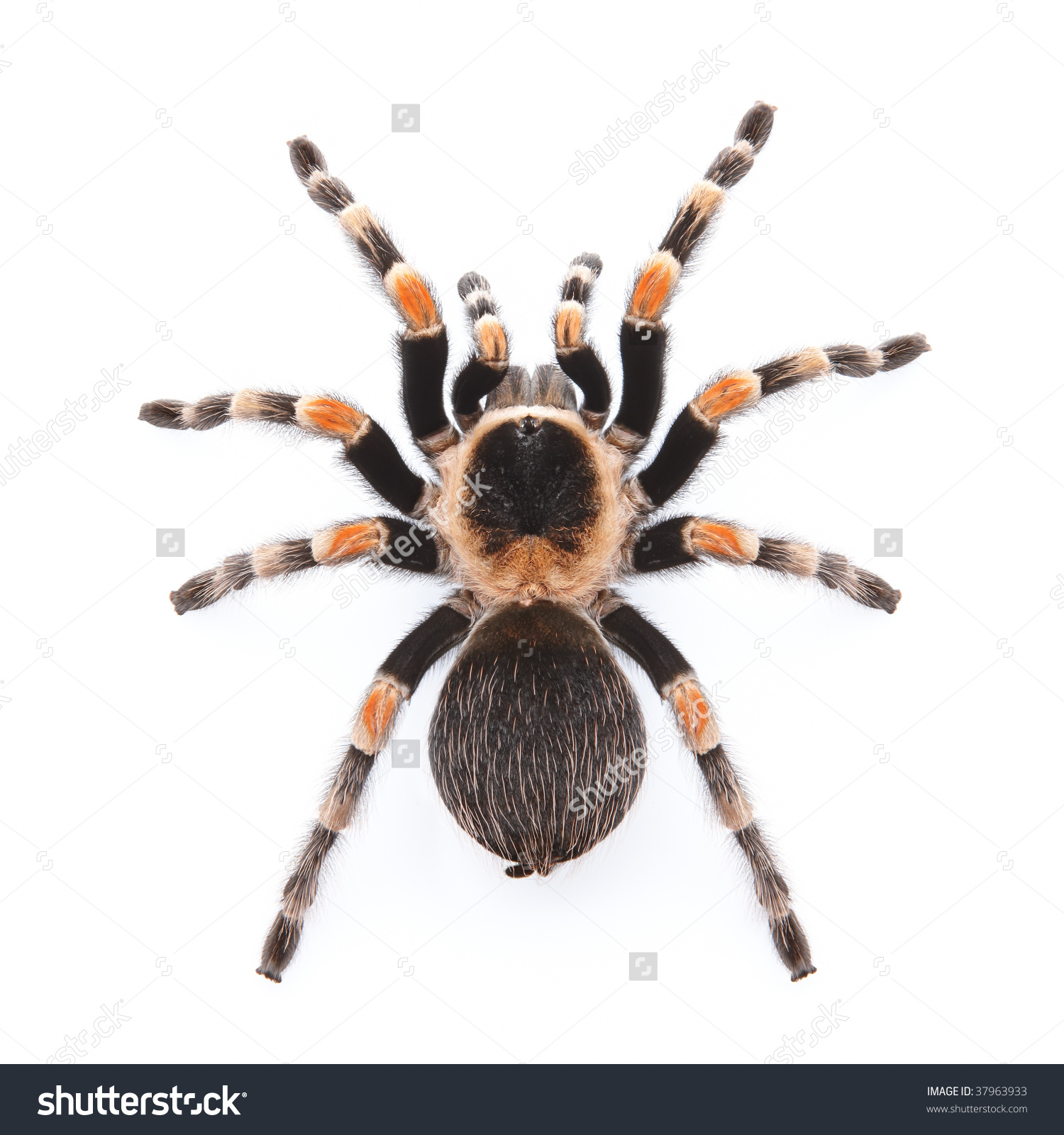 Mexican Red Knee Tarantula Top View Stock Photo 37963933.
