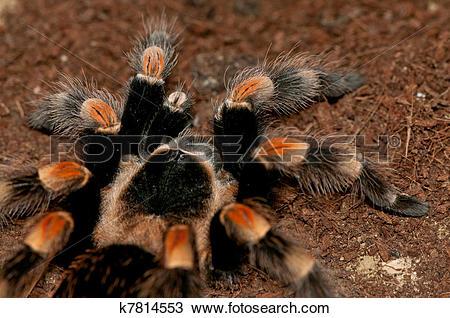 Stock Photo of Mexican red knee tarantula k7814553.