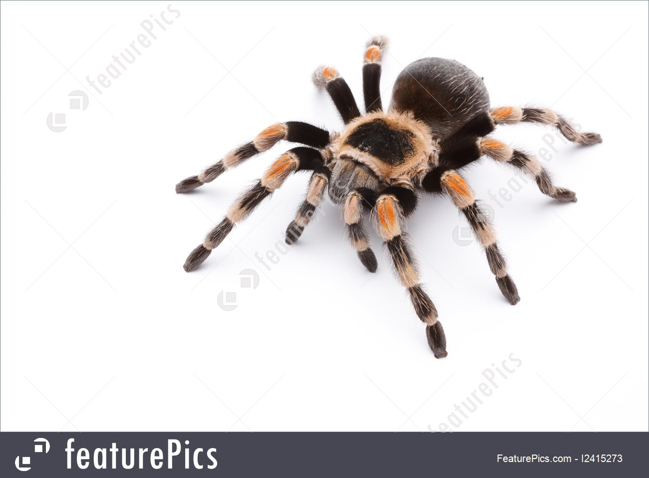 Picture Of Red Knee Tarantula.