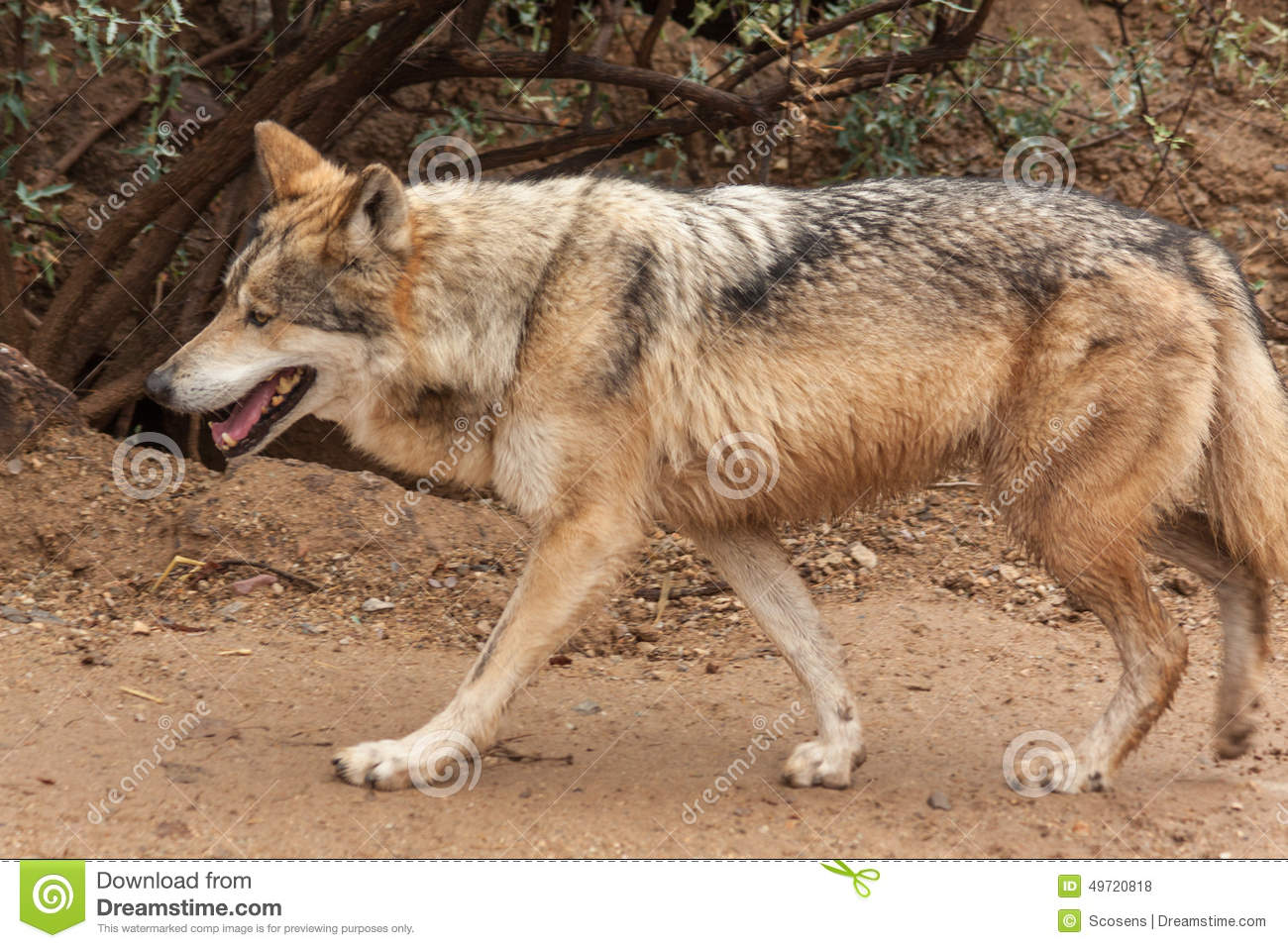 Mexican Wolf Walking Stock Photo.
