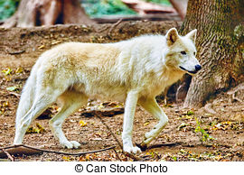 Stock Image of Mexican Gray Wolf staring at its pray csp5261556.