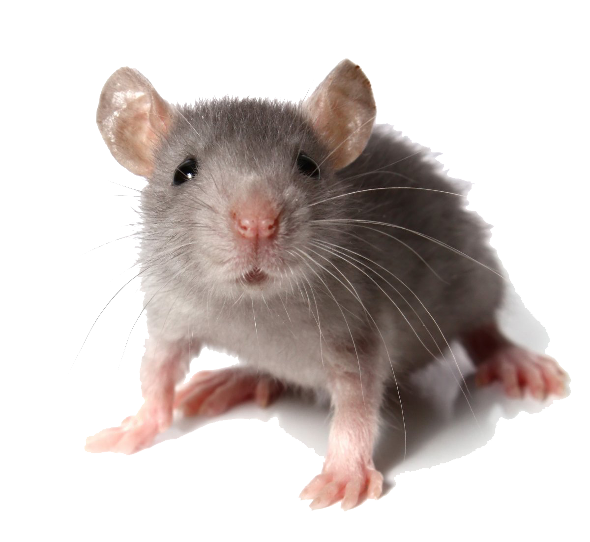 Mouse Animal (Mice) PNG Transparent Images.
