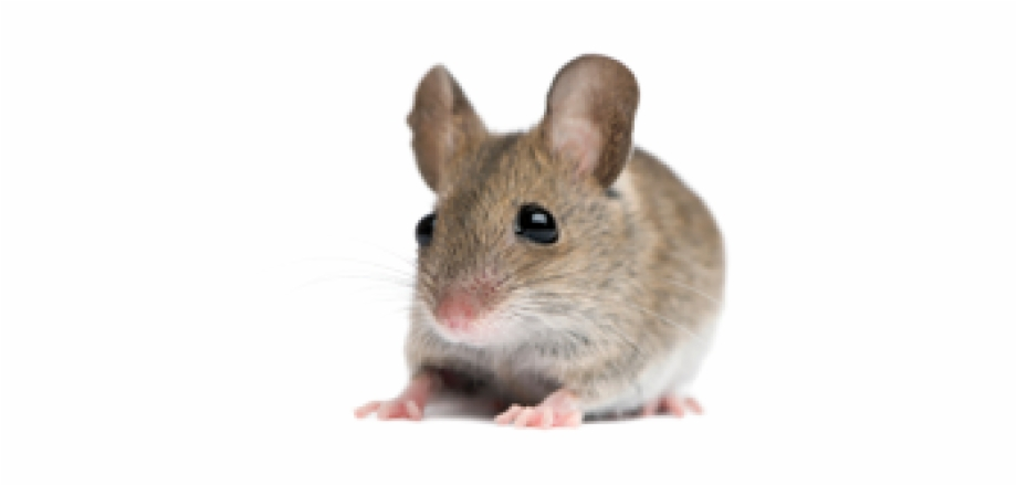 Rat Mouse Png Free Download.