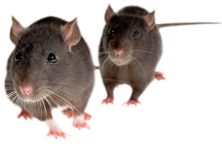 PNG Mice Transparent Mice.PNG Images..