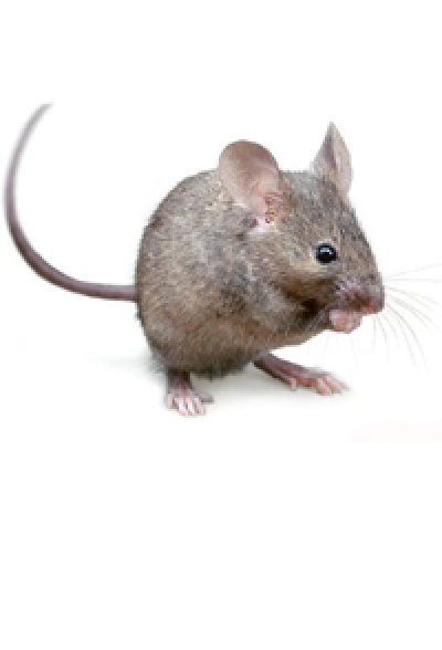 PNG Mice Transparent MicePNG Images.