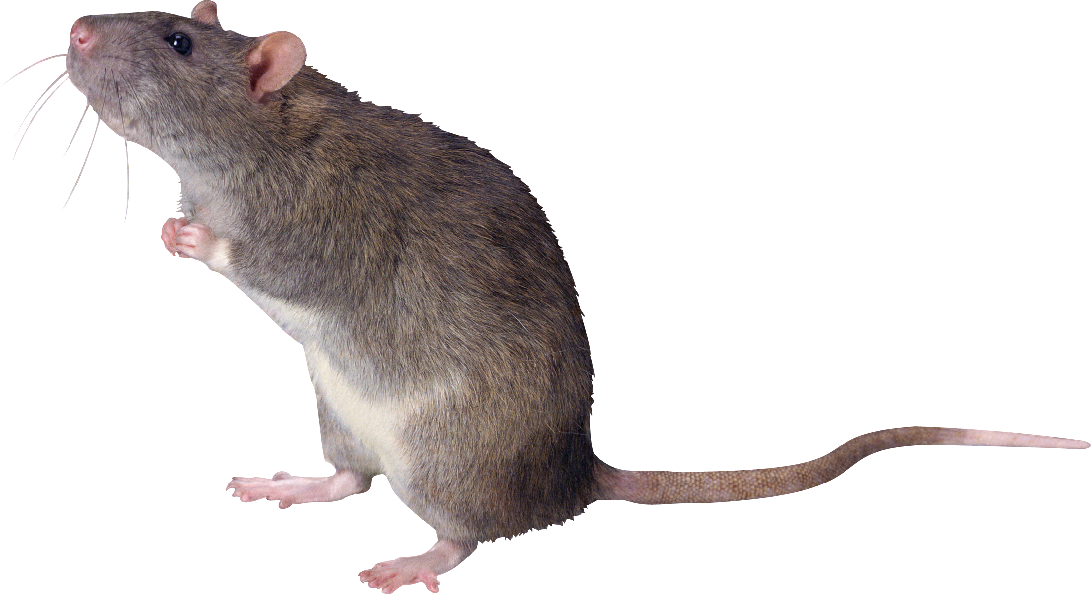 Rat, mouse, mice PNG free images, pictures.