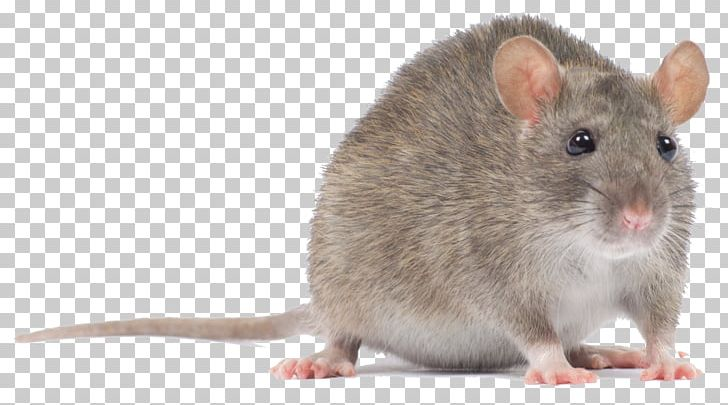 Computer Mouse Rodent Murids Black Rat PNG, Clipart, Animals.