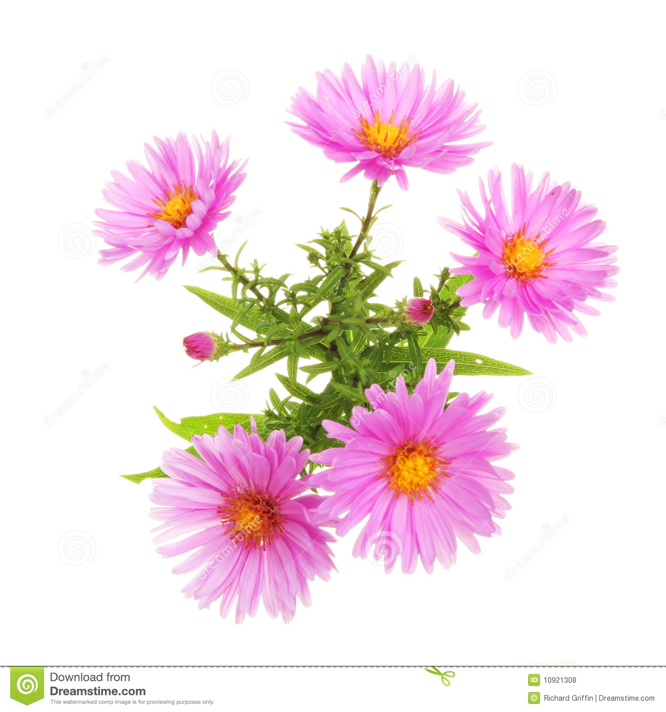 Michaelmas Daisy Royalty Free Stock Photos.