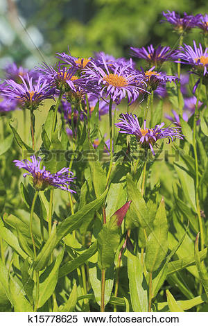 Stock Image of Blooming European Michaelmas Daisy k15778625.