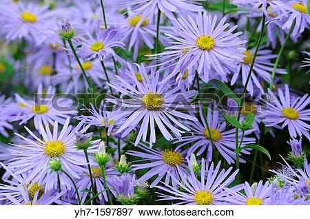 Picture of Asters, Michaelmas Daisy, UK, September yh7.