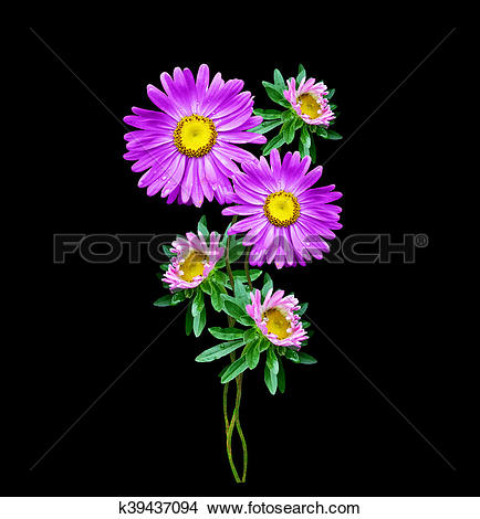 Stock Photo of Michaelmas daisy flowers isolated on black.