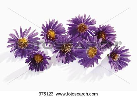 Stock Photo of Michaelmas daisies 975123.