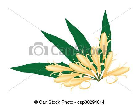 Vector Clip Art of Yellow Michelia Alba or Michelia Champaca on.