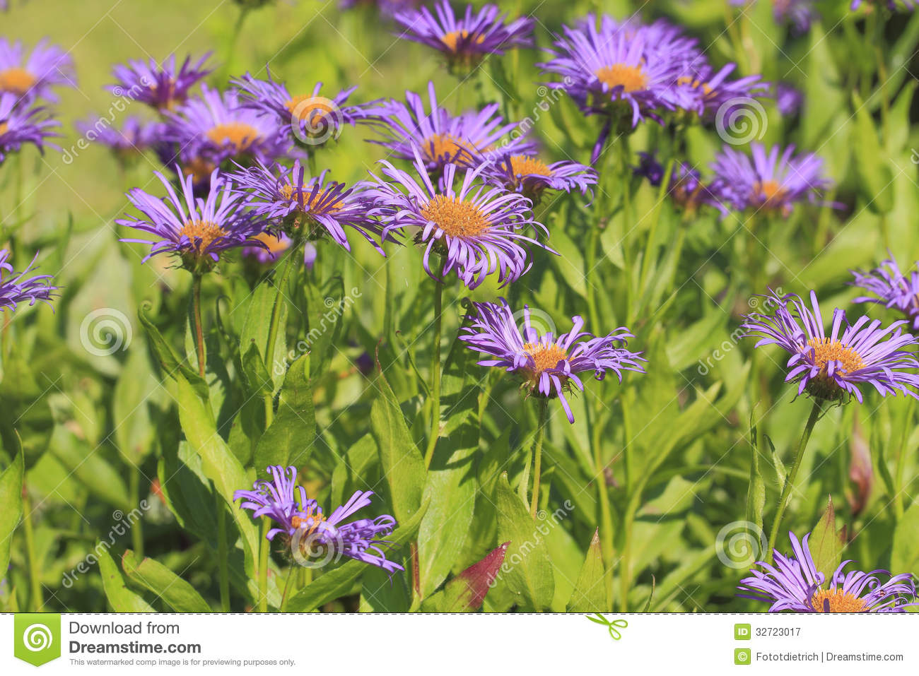 Blooming European Michaelmas Daisy Royalty Free Stock Photography.