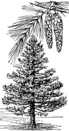 Michigan Pine Tree Clipart Clipground