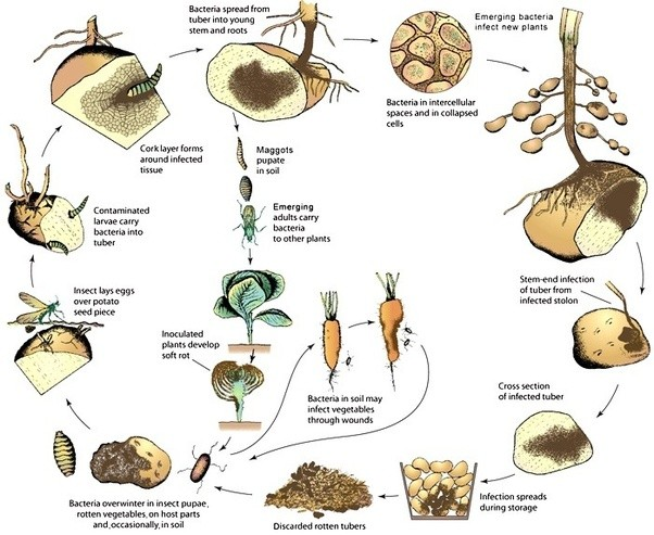 How does soil bacteria/microorganisms benefit or harm the growth.