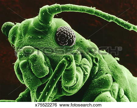 Stock Images of Scanning electron micrograph of spruce aphid (x200.