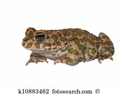 Microhylidae Stock Photos and Images. 31 microhylidae pictures and.