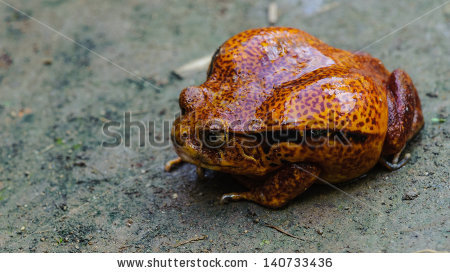 Microhylidae Stock Photos, Royalty.