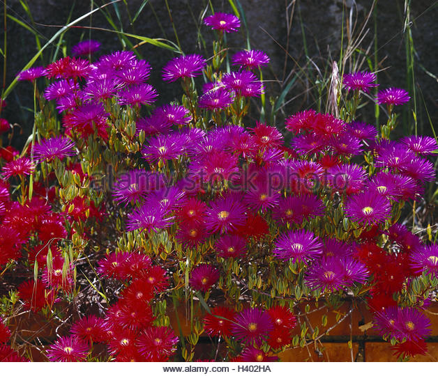 Midday Flowers Stock Photos & Midday Flowers Stock Images.