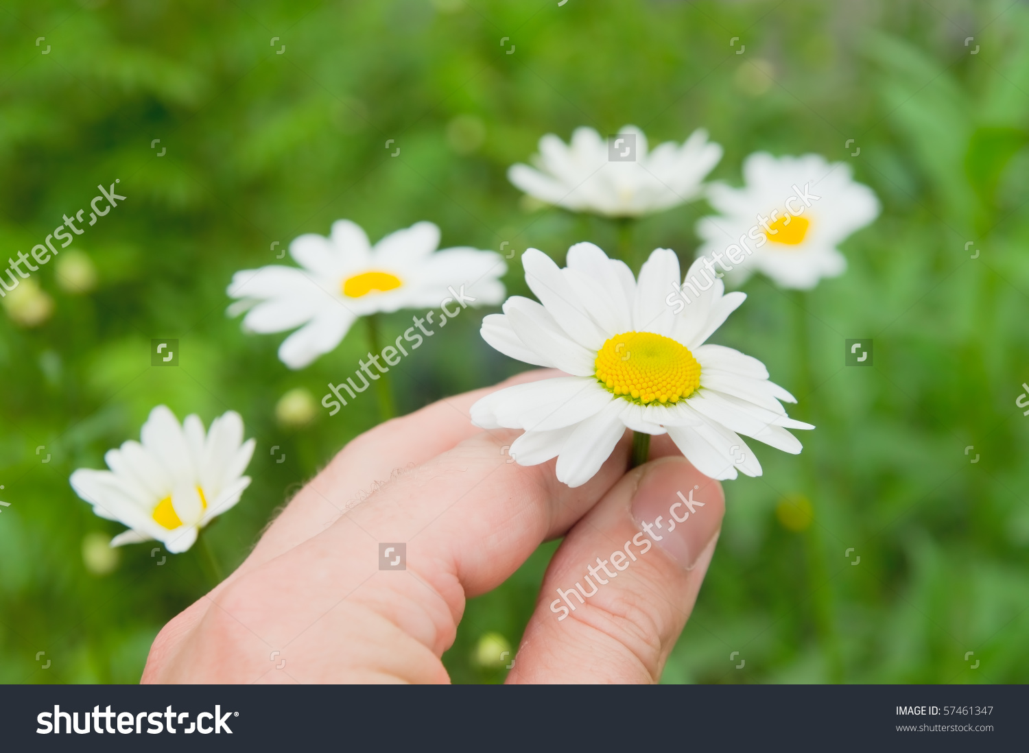 Camomile Flowers In Hand On Wide Field Under Midday Sun Stock.