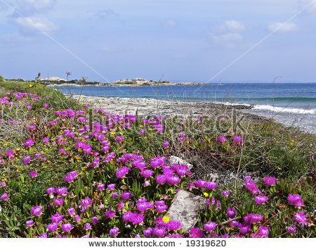 Beach Near Santa Di Gallura With Red Midday Flowers (Carpobrotus.