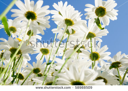 """chamomile Blossom"" Stock Photos, Royalty."