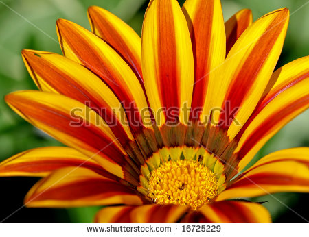 Midday Flower, Red And Yellow Striped Stock Photo 16725229.