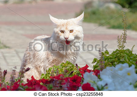 Stock Photo of Maine Coon in midday heat.