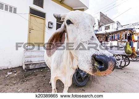 Stock Image of cows resting in the midday heat at the street.