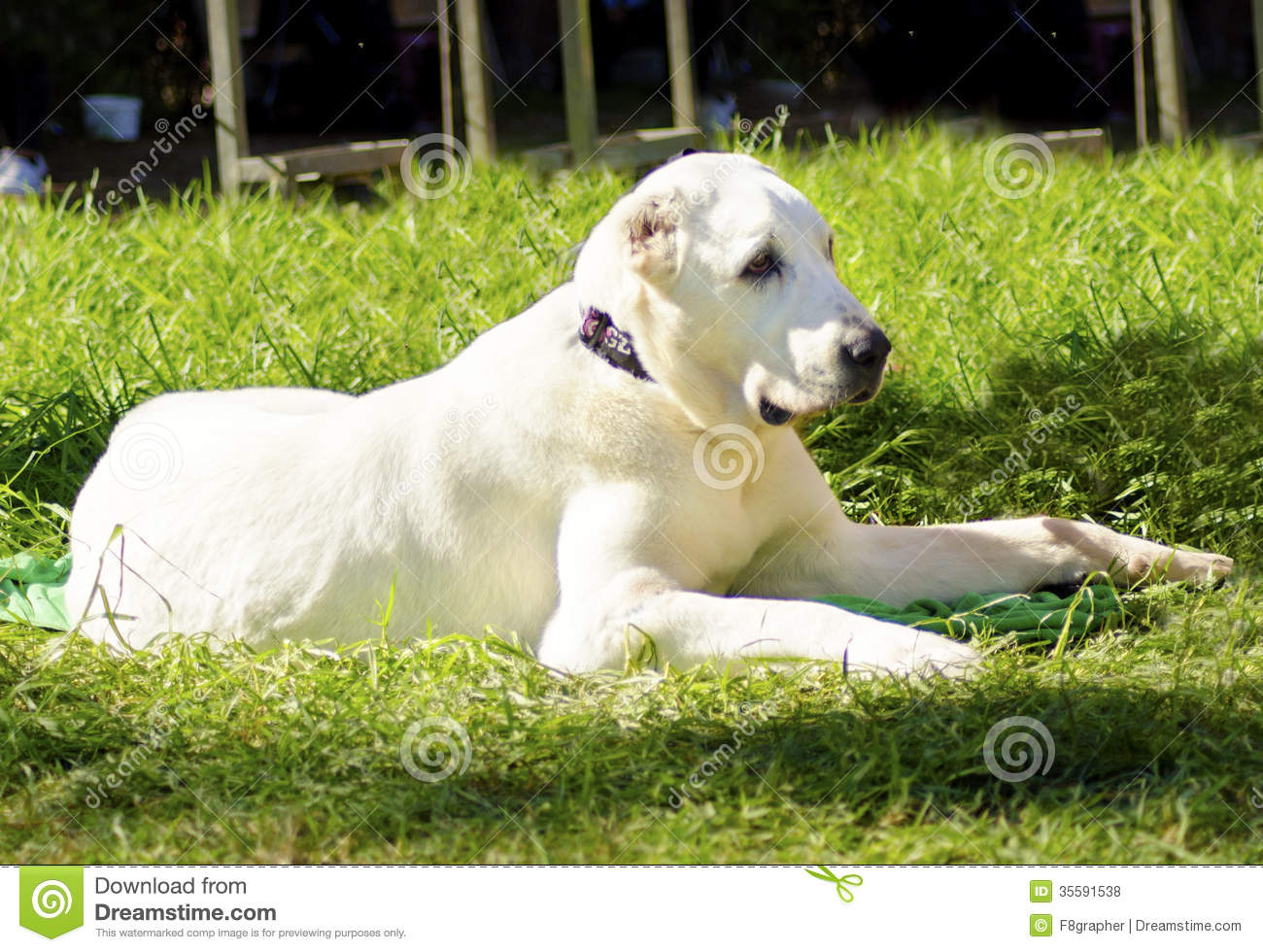 Central Asian Shepherd Dog Royalty Free Stock Photos.