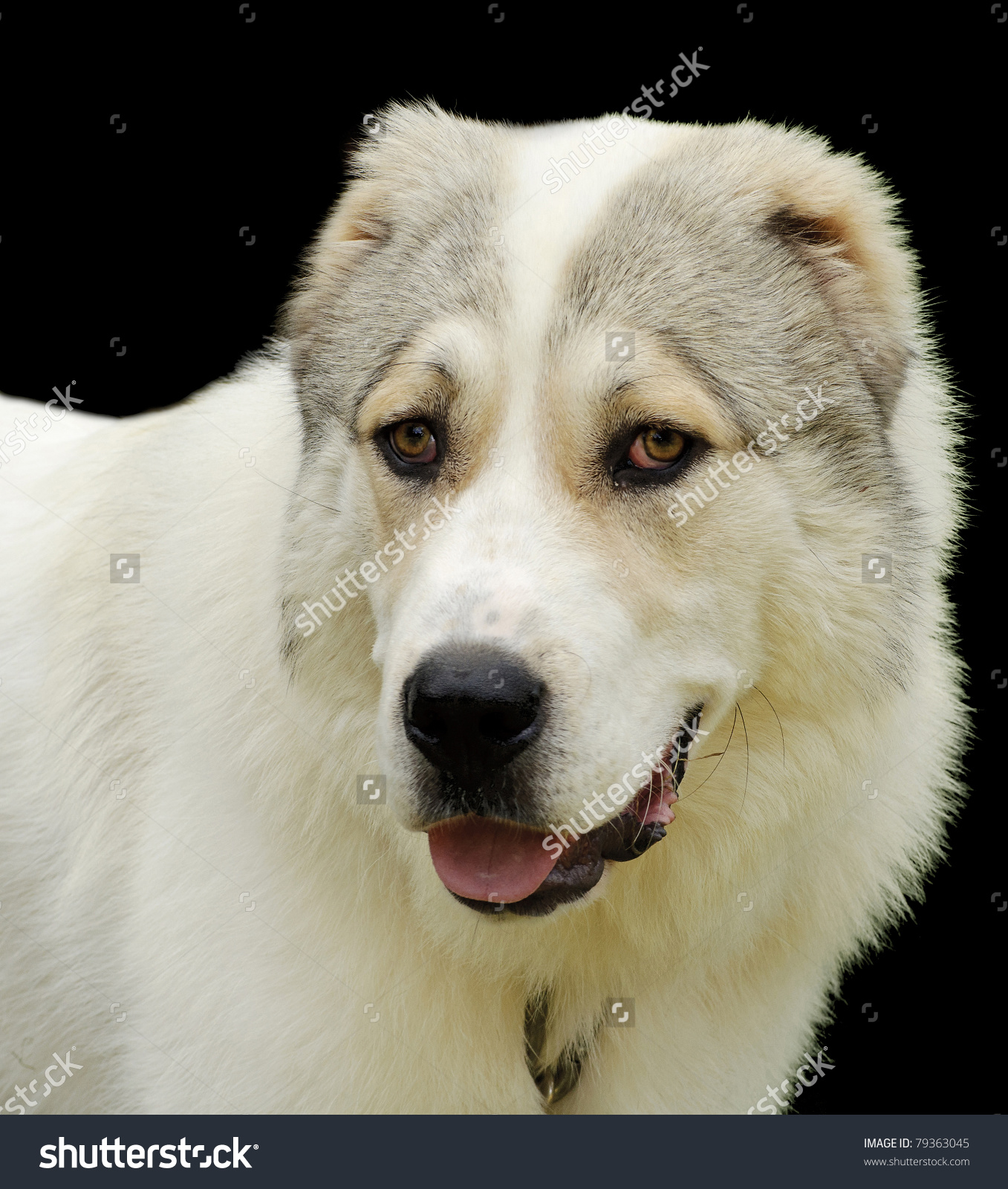 Beautiful Alabai Central Asian Shepherd Dog Stock Photo 79363045.