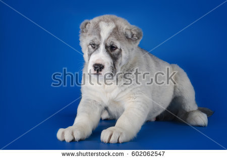 Central Asian Shepherd Dog Stock Images, Royalty.