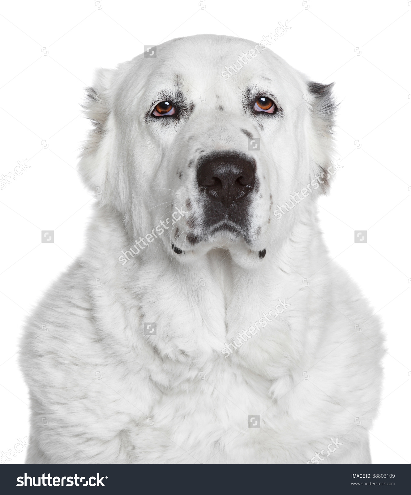 Central Asian Shepherd Dog Portrait On Stock Photo 88803109.