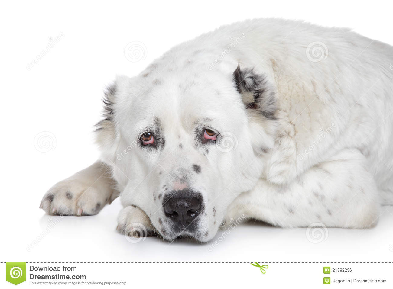 Central Asian Shepherd Dog Portrait Stock Images.