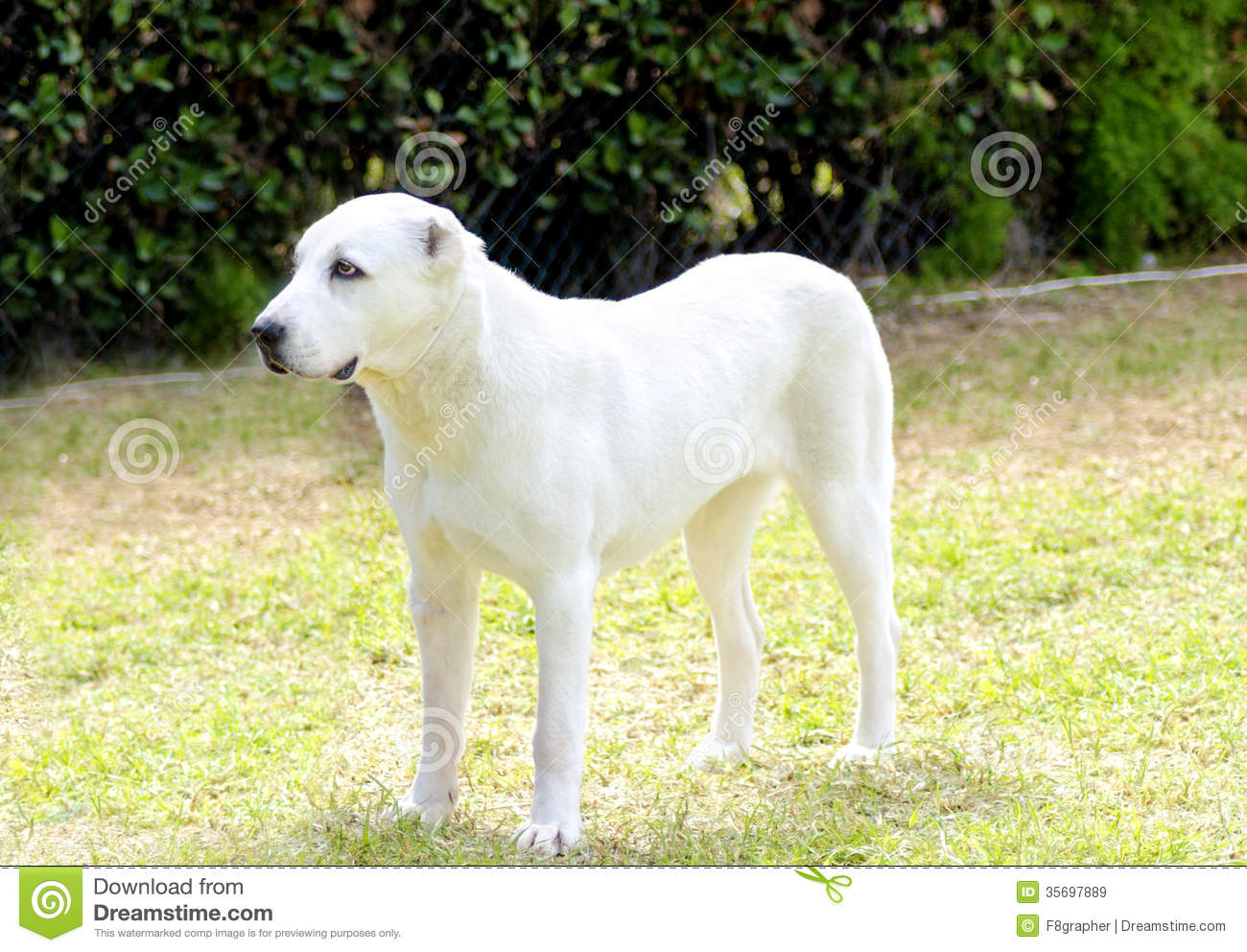 Central Asian Shepherd Dog Royalty Free Stock Images.