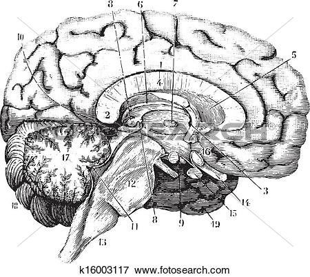Clip Art of Middle and anterior.