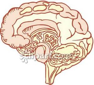 Section Through the Middle Of A Human Brain.