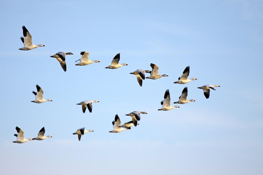 Migratory path clipart #3