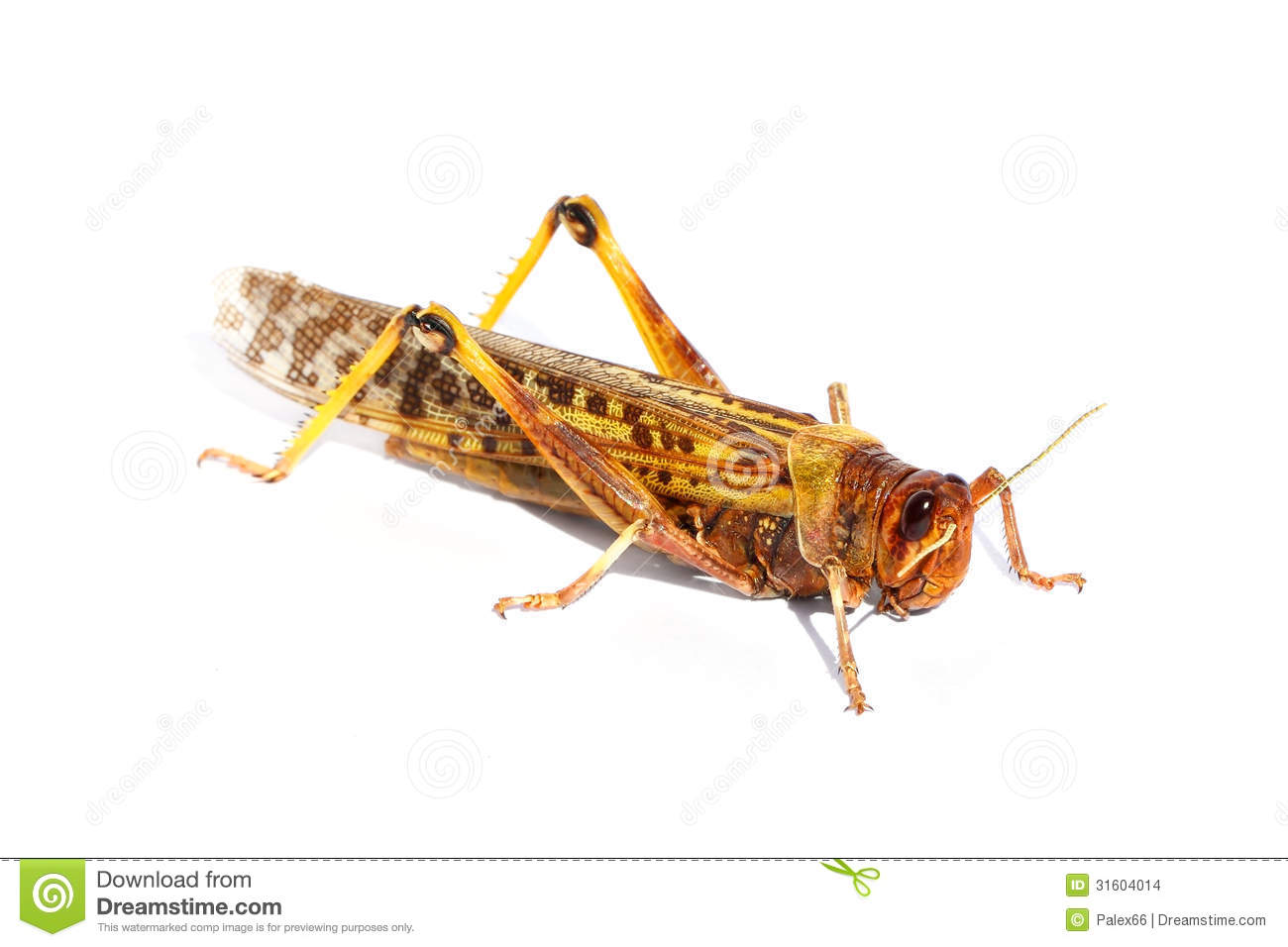 Migratory Locust Stock Photo.